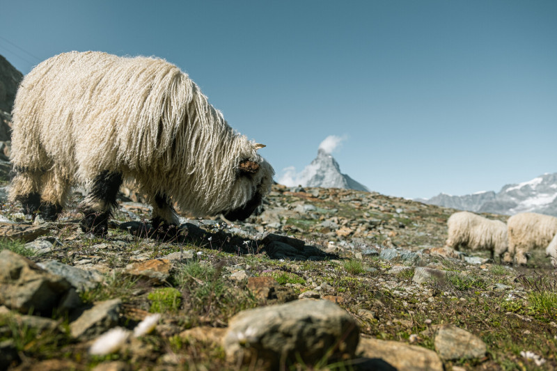 Meet the Sheep Ticket and Hike (Wednesday)