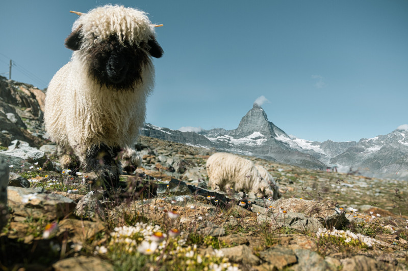 Meet the Sheep ticket and hike incl. aperitif